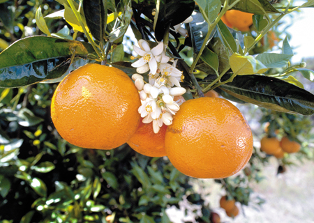 orange blossom.